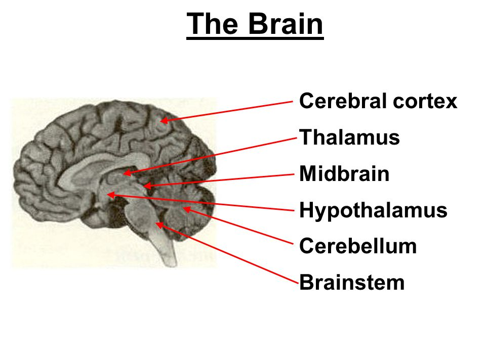 The Brain Cerebral cortex Thalamus Midbrain Hypothalamus Cerebellum Brainstem