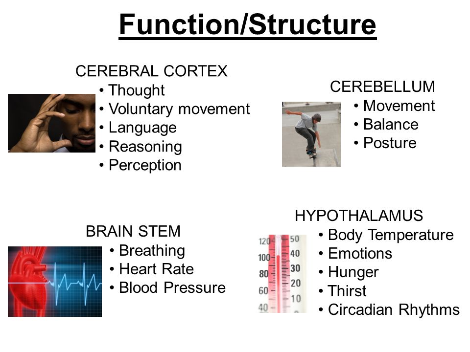 CEREBRAL CORTEX Thought Voluntary movement Language Reasoning Perception Function/Structure CEREBELLUM Movement Balance Posture BRAIN STEM Breathing Heart Rate Blood Pressure HYPOTHALAMUS Body Temperature Emotions Hunger Thirst Circadian Rhythms