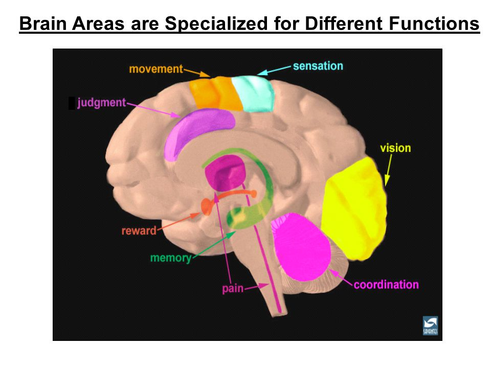 Brain Areas are Specialized for Different Functions