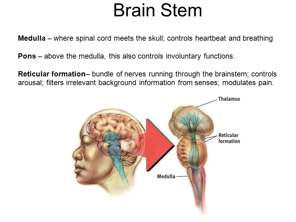 Brain Stem Medulla – where spinal cord meets the skull; controls heartbeat and breathing Pons – above the medulla, this also controls involuntary functions.
