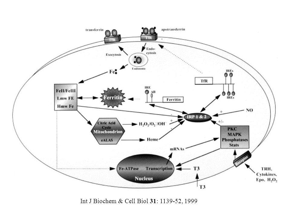 Int J Biochem & Cell Biol 31: 1139-52, 1999