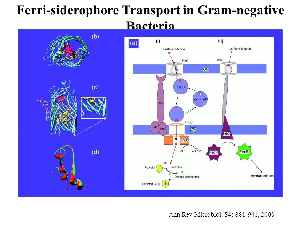Ferri-siderophore Transport in Gram-negative Bacteria Ann Rev Microbiol. 54: 881-941, 2000