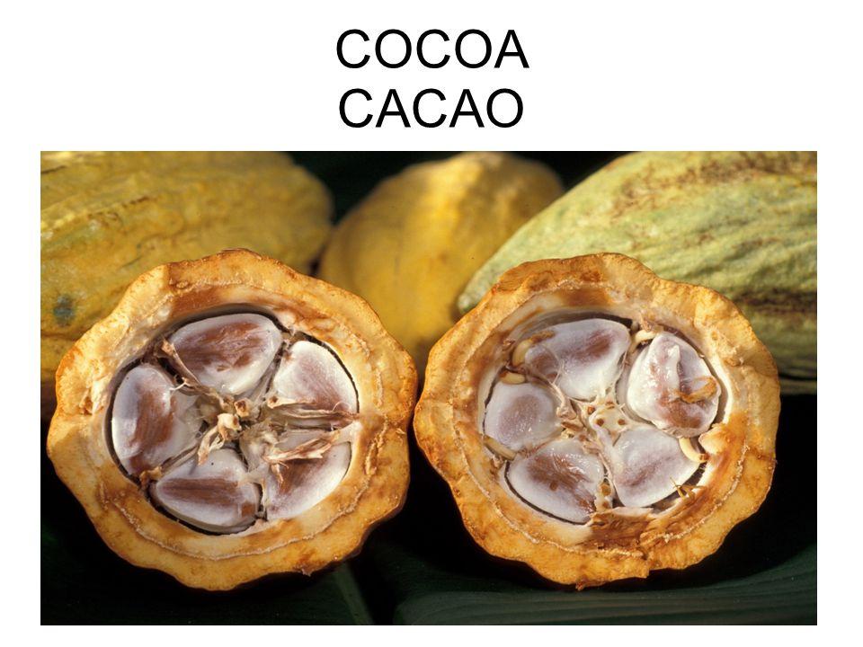 COCOA CACAO