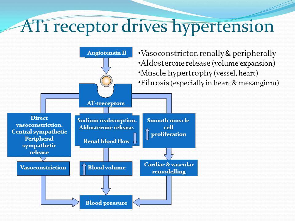 AT1 receptor drives hypertension Direct vasoconstriction.