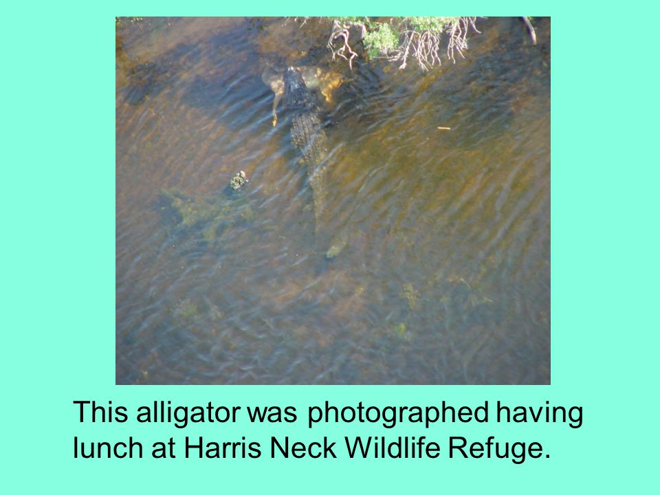 This alligator was photographed having lunch at Harris Neck Wildlife Refuge.
