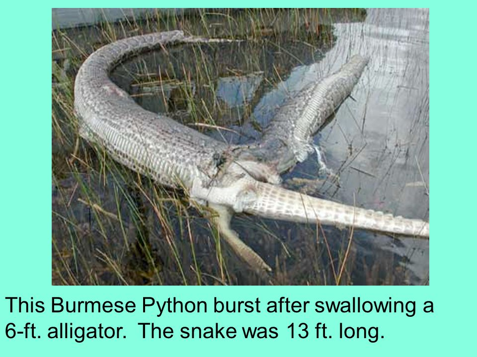 This Burmese Python burst after swallowing a 6-ft. alligator. The snake was 13 ft. long.