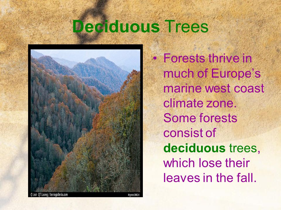 Deciduous Trees Forests thrive in much of Europe's marine west coast climate zone. Some forests consist of deciduous trees, which lose their leaves in