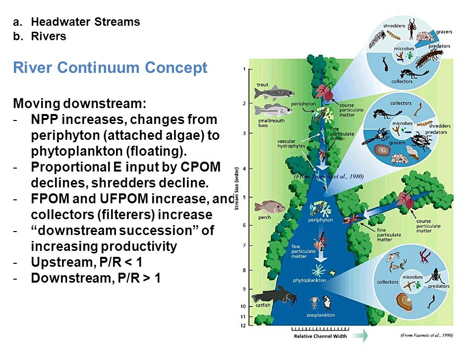 a.Headwater Streams b.Rivers River Continuum Concept Moving downstream: -NPP increases, changes from periphyton (attached algae) to phytoplankton (flo