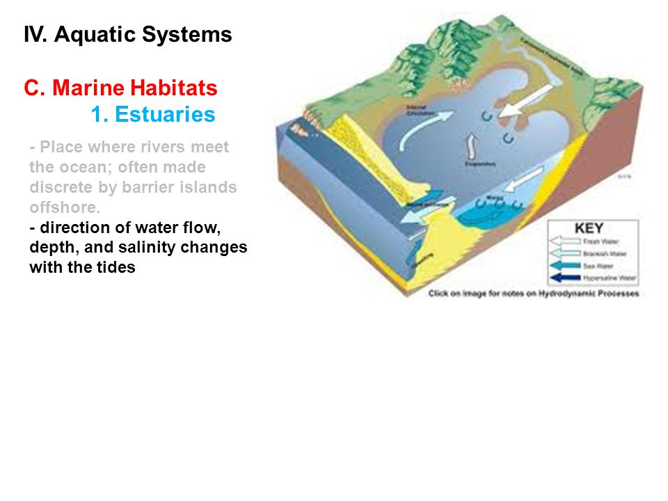IV. Aquatic Systems C. Marine Habitats 1. Estuaries - Place where rivers meet the ocean; often made discrete by barrier islands offshore. - direction