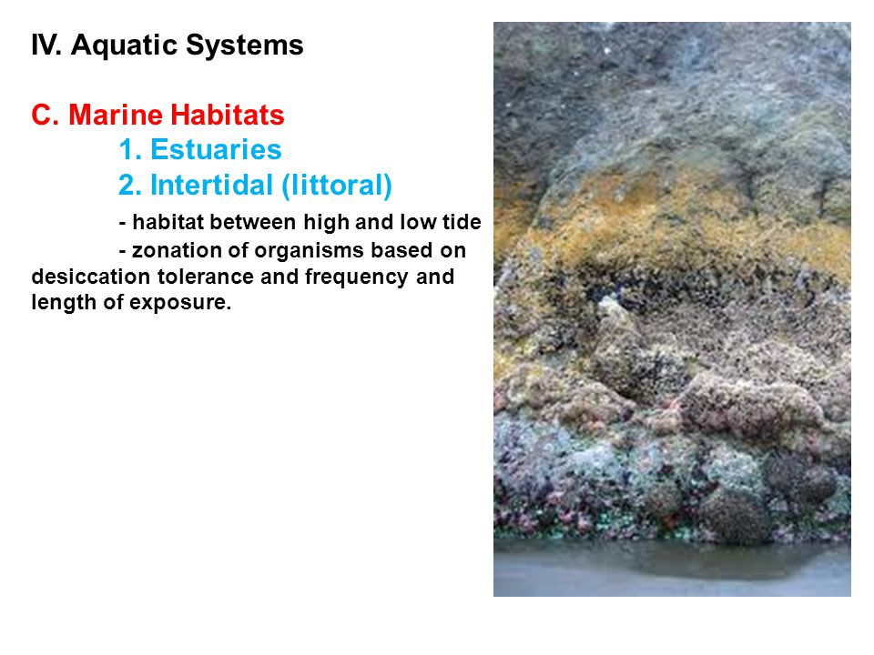 IV. Aquatic Systems C. Marine Habitats 1. Estuaries 2. Intertidal (littoral) - habitat between high and low tide - zonation of organisms based on desi