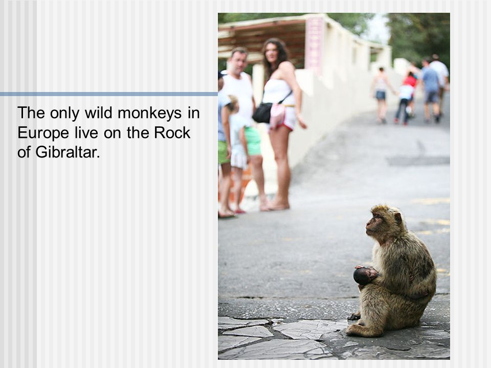 The only wild monkeys in Europe live on the Rock of Gibraltar.