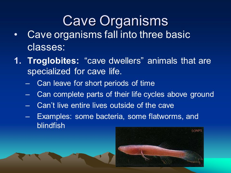 "Cave Organisms Cave organisms fall into three basic classes: 1.Troglobites: ""cave dwellers"" animals that are specialized for cave life. –Can leave for"