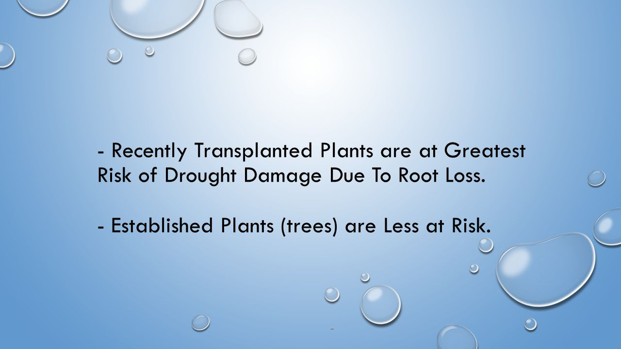 - Recently Transplanted Plants are at Greatest Risk of Drought Damage Due To Root Loss.