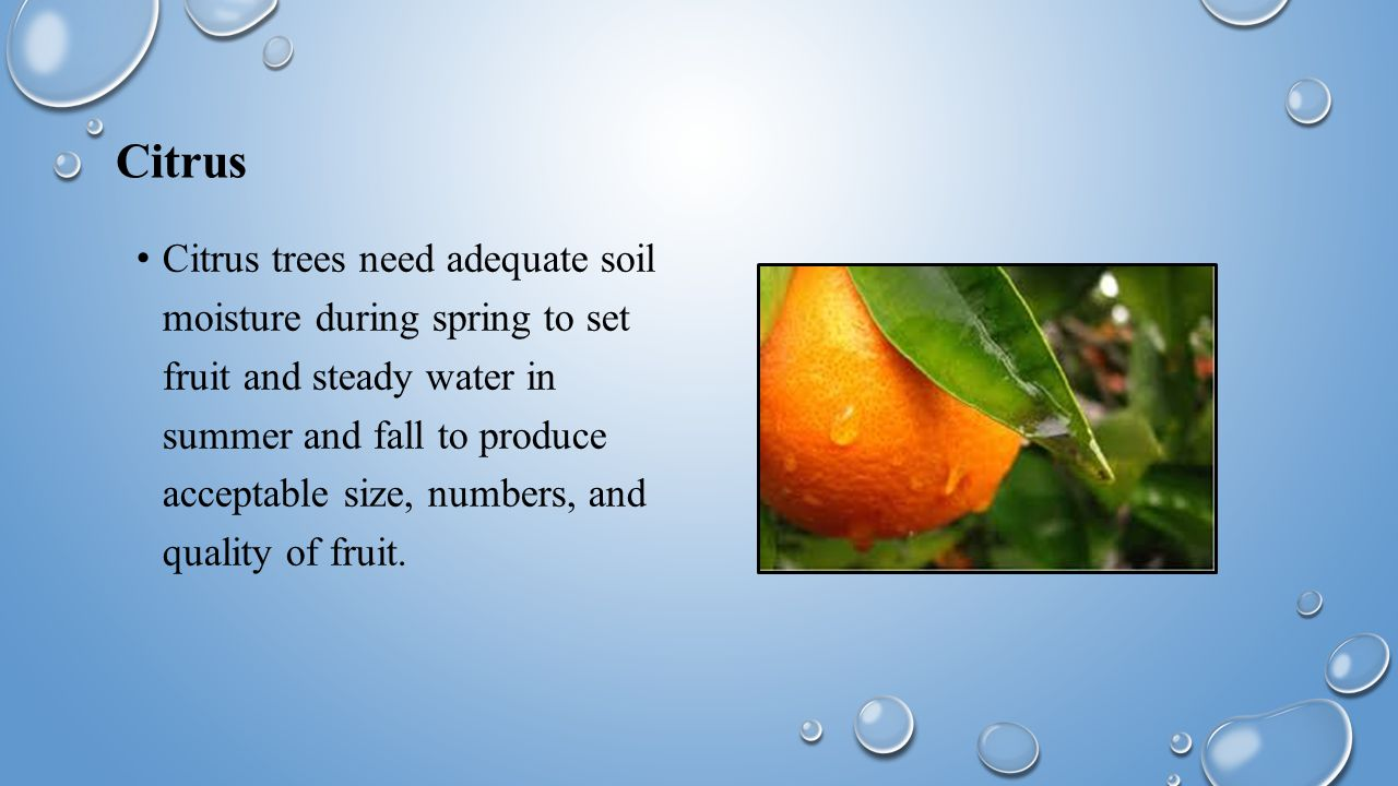Citrus Citrus trees need adequate soil moisture during spring to set fruit and steady water in summer and fall to produce acceptable size, numbers, and quality of fruit.