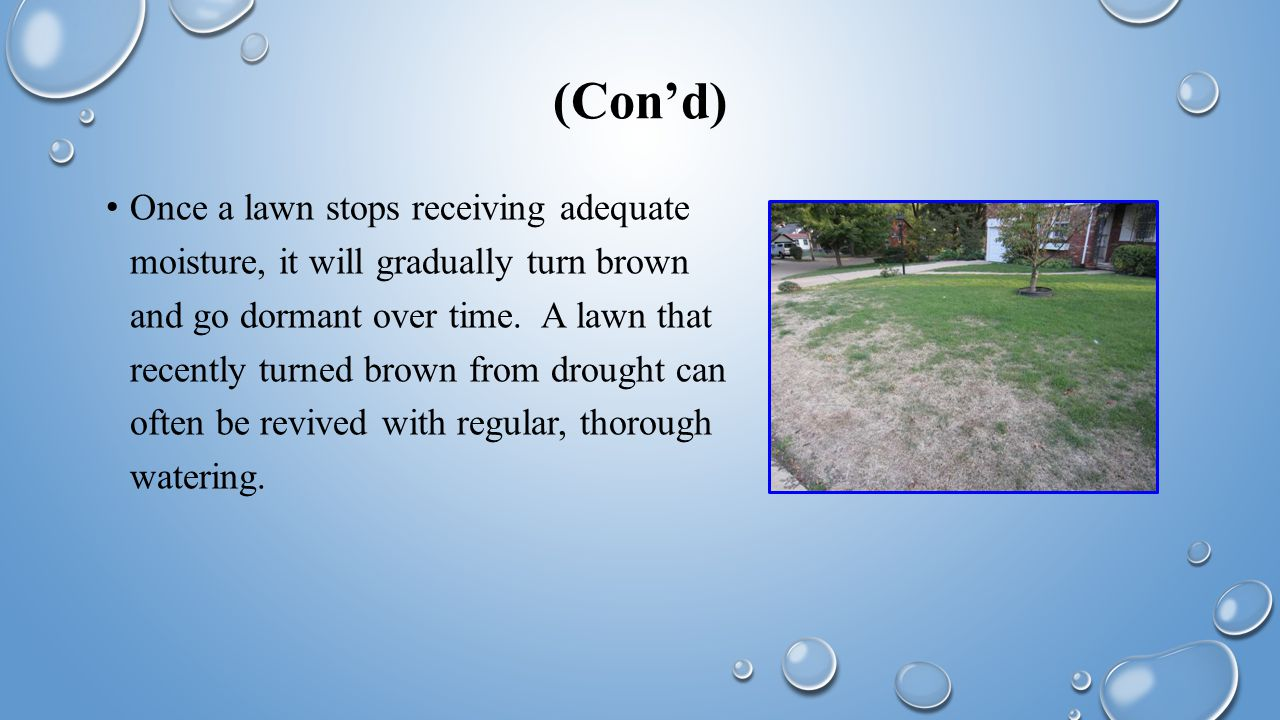 (Con'd) Once a lawn stops receiving adequate moisture, it will gradually turn brown and go dormant over time.
