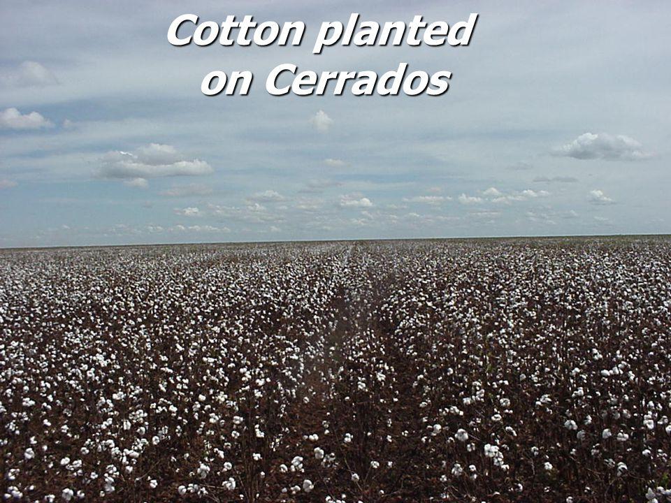 Cotton planted on Cerrados