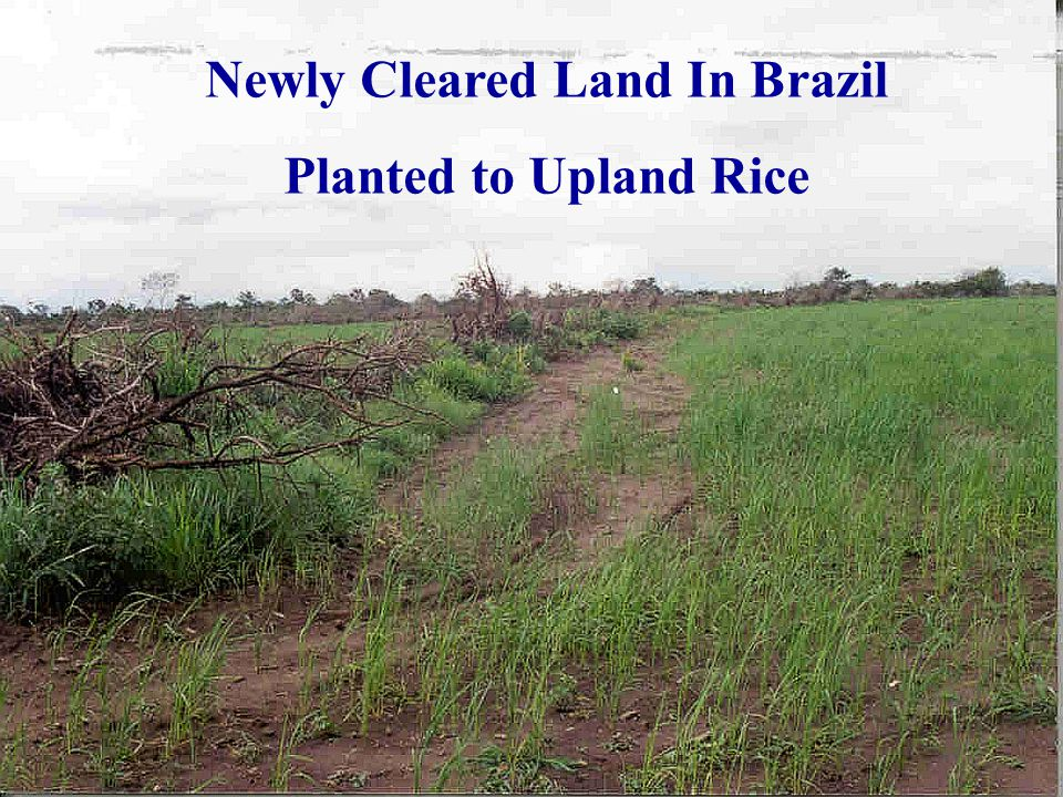 Newly Cleared Land In Brazil Planted to Upland Rice