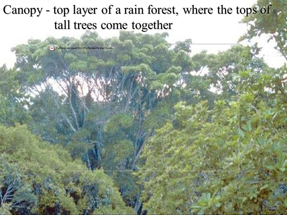 Canopy - top layer of a rain forest, where the tops of tall trees come together