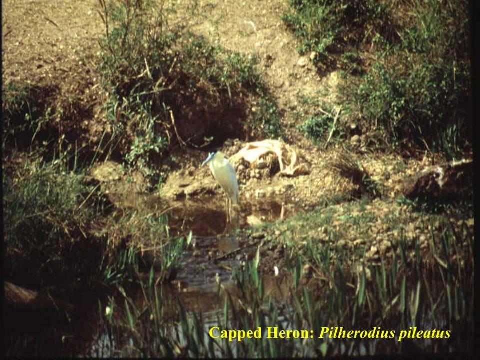 Capped Heron: Pilherodius pileatus