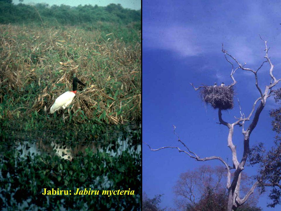 Jabiru: Jabiru mycteria