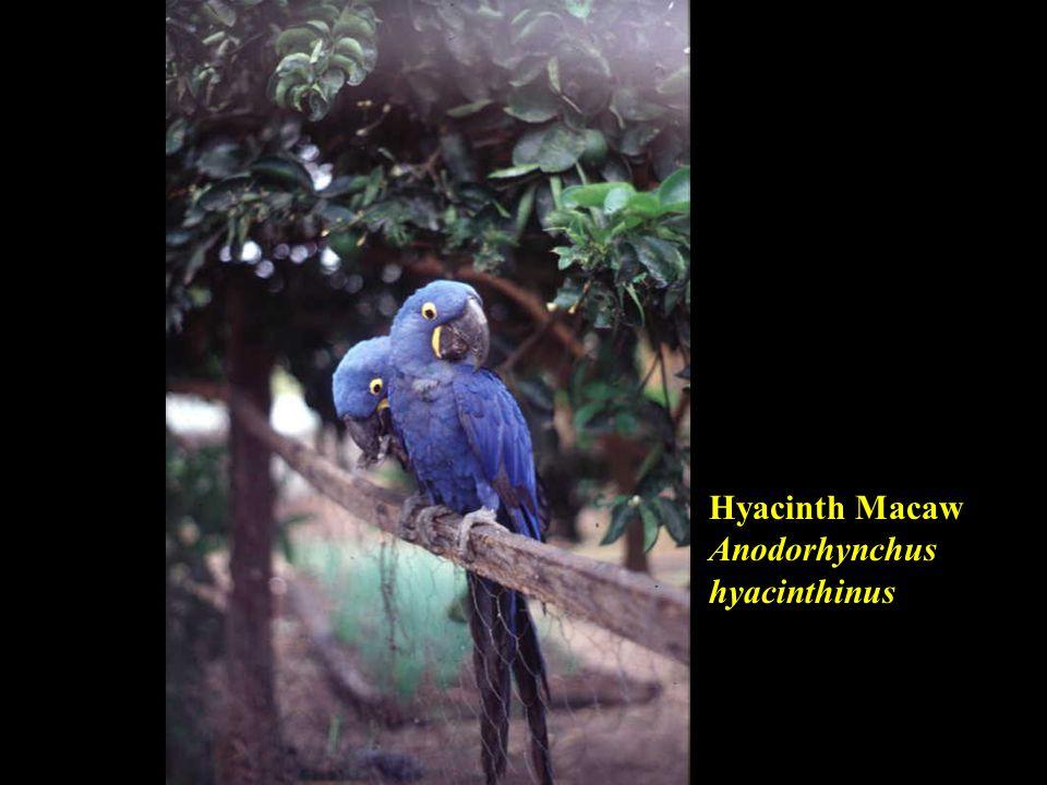 Hyacinth Macaw Anodorhynchus hyacinthinus