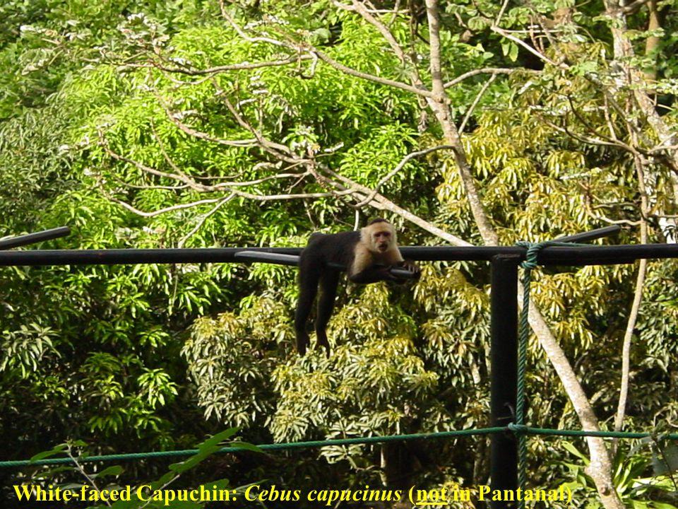 White-faced Capuchin: Cebus capucinus (not in Pantanal)
