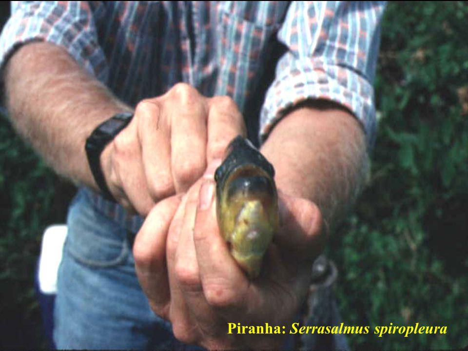 Piranha: Serrasalmus spiropleura