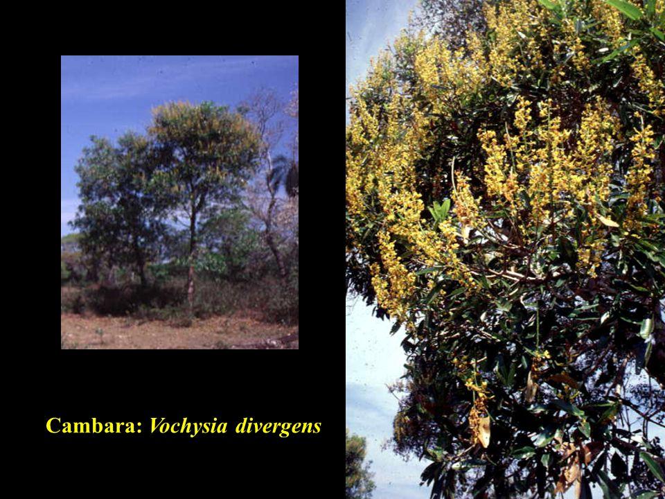 Cambara: Vochysia divergens