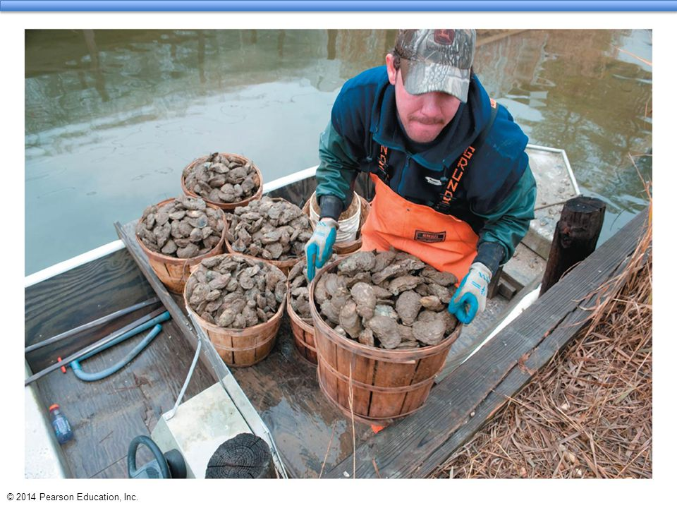 Central Case Study: The Vanishing Oysters of the Chesapeake Bay  Chesapeake Bay used to be the world's largest oyster fishery  By 2010, output reduced to 1% of historical levels  Numerous causes of the decline:  Overharvesting  Habitat destruction  Disease  More recently, nutrient addition (nitrogen and phosphorus) from fertilizer, fossil fuel emissions, storm water runoff  Hypoxia  low concentrations of oxygen in water