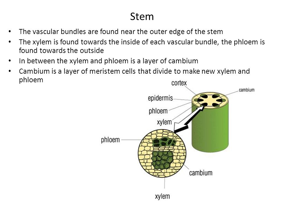 Stem The vascular bundles are found near the outer edge of the stem The xylem is found towards the inside of each vascular bundle, the phloem is found