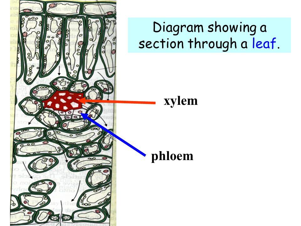 xylem phloem Diagram showing a section through a leaf.