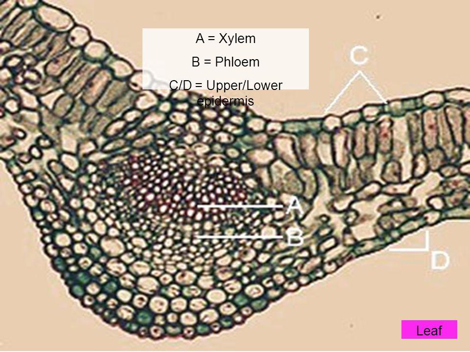 A = Xylem B = Phloem C/D = Upper/Lower epidermis Leaf