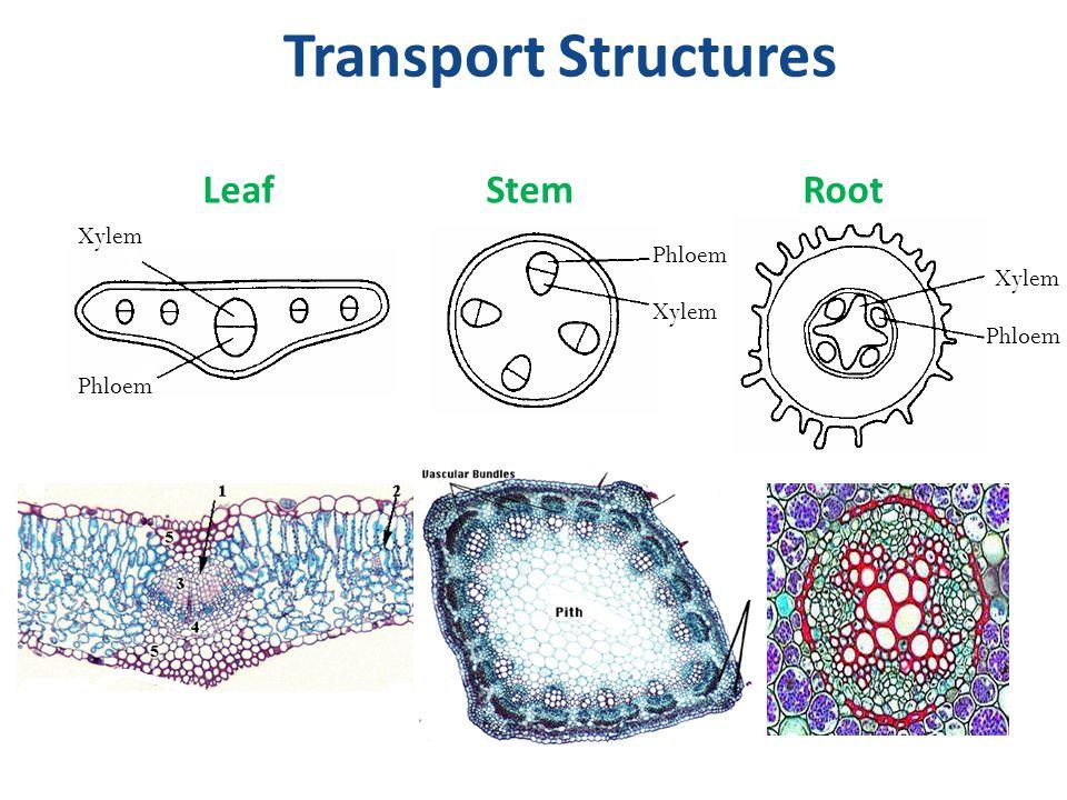 Transport Structures LeafStemRoot Xylem Phloem Xylem Phloem