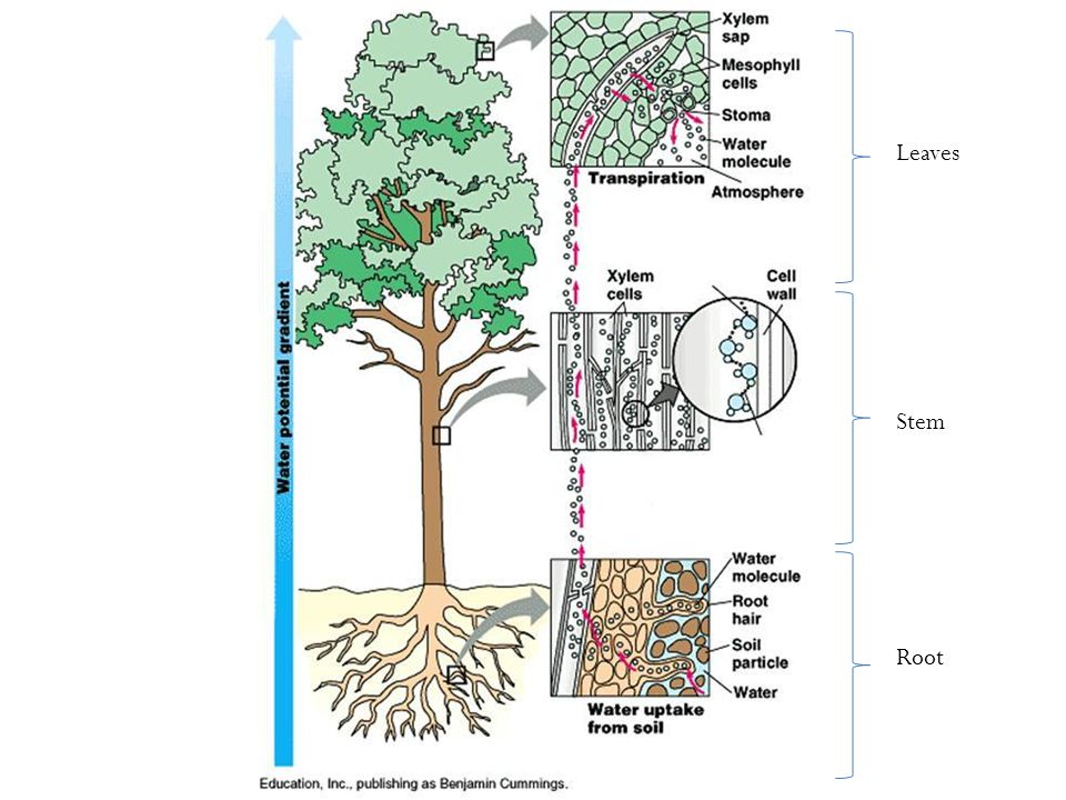 Root Stem Leaves