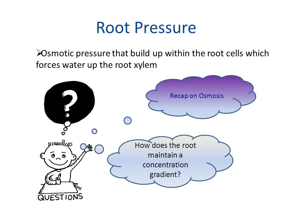 Root Pressure  Osmotic pressure that build up within the root cells which forces water up the root xylem Recap on Osmosis How does the root maintain