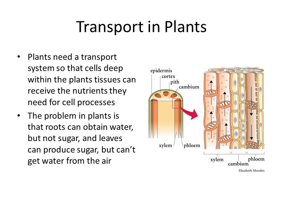 Transport in Plants Plants need a transport system so that cells deep within the plants tissues can receive the nutrients they need for cell processes