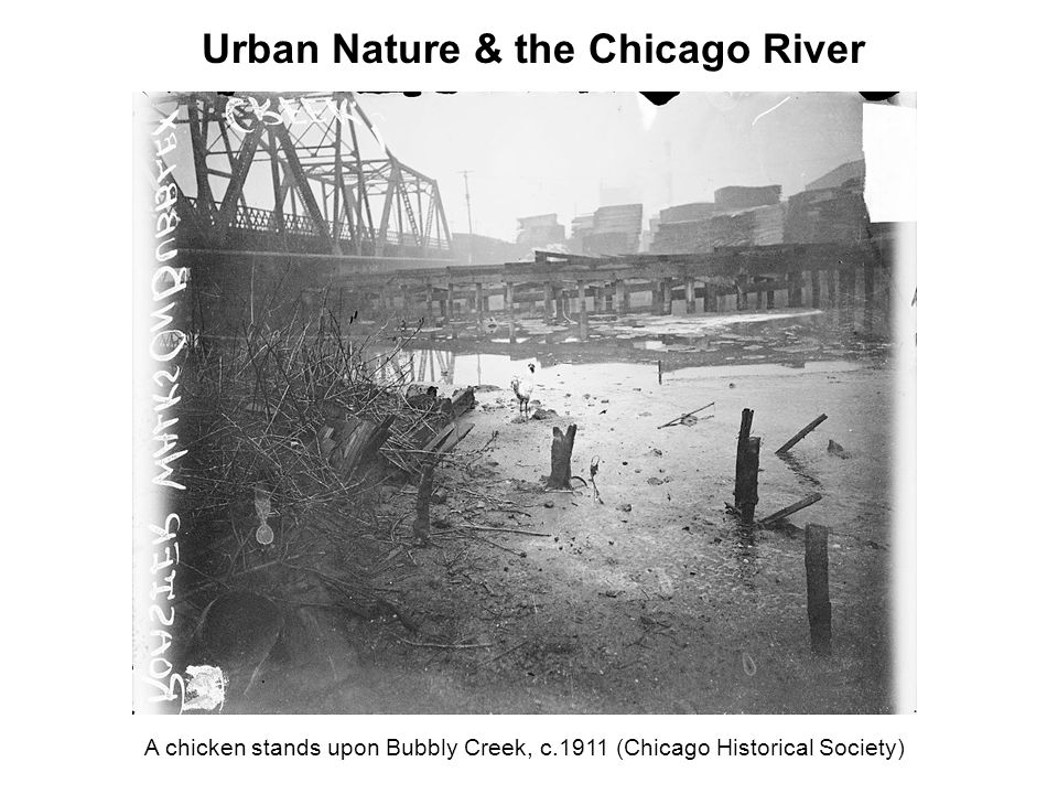 A chicken stands upon Bubbly Creek, c.1911 (Chicago Historical Society) Urban Nature & the Chicago River