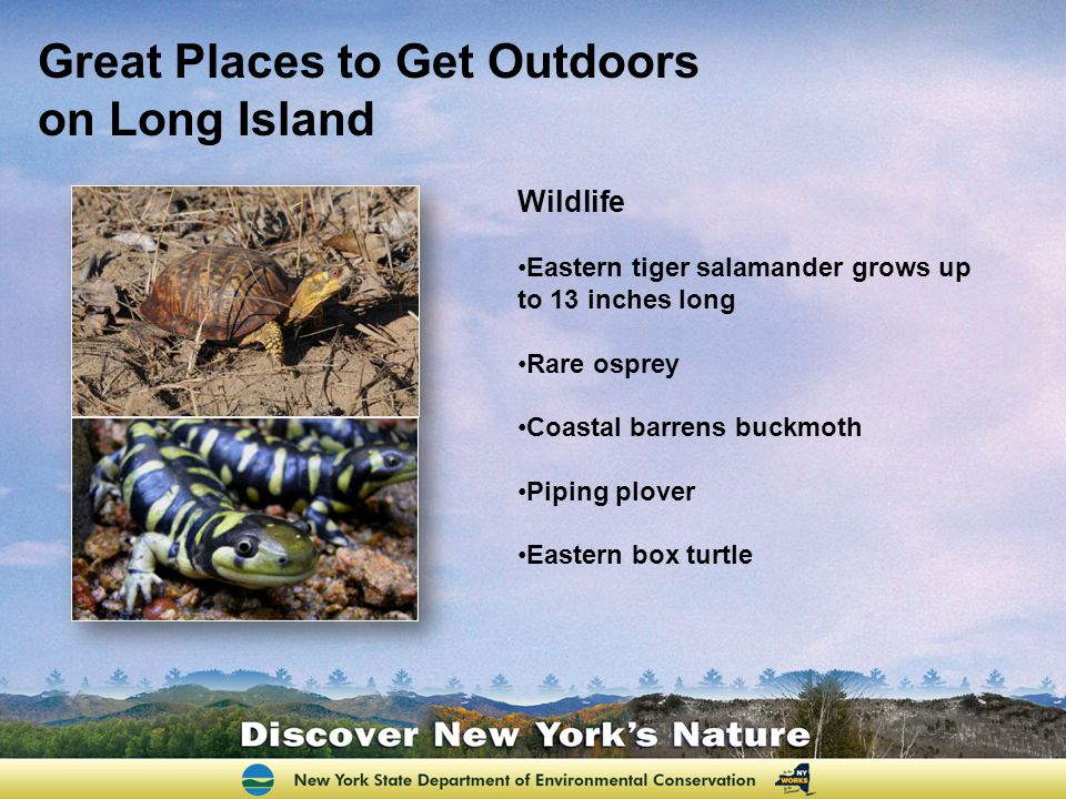 Great Places to Get Outdoors on Long Island Wildlife Eastern tiger salamander grows up to 13 inches long Rare osprey Coastal barrens buckmoth Piping plover Eastern box turtle