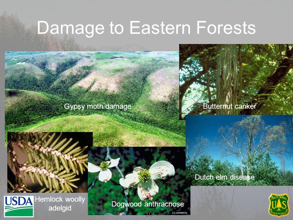 Damage to Eastern Forests Gypsy moth damageButternut canker Dutch elm disease Dogwood anthracnose Hemlock woolly adelgid 10