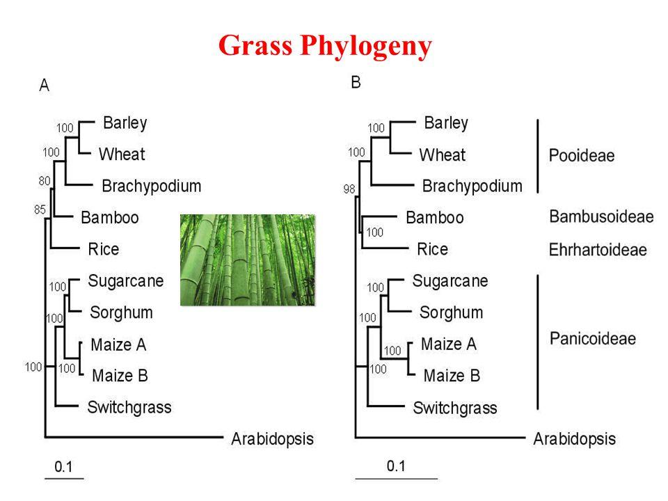 Grass Phylogeny