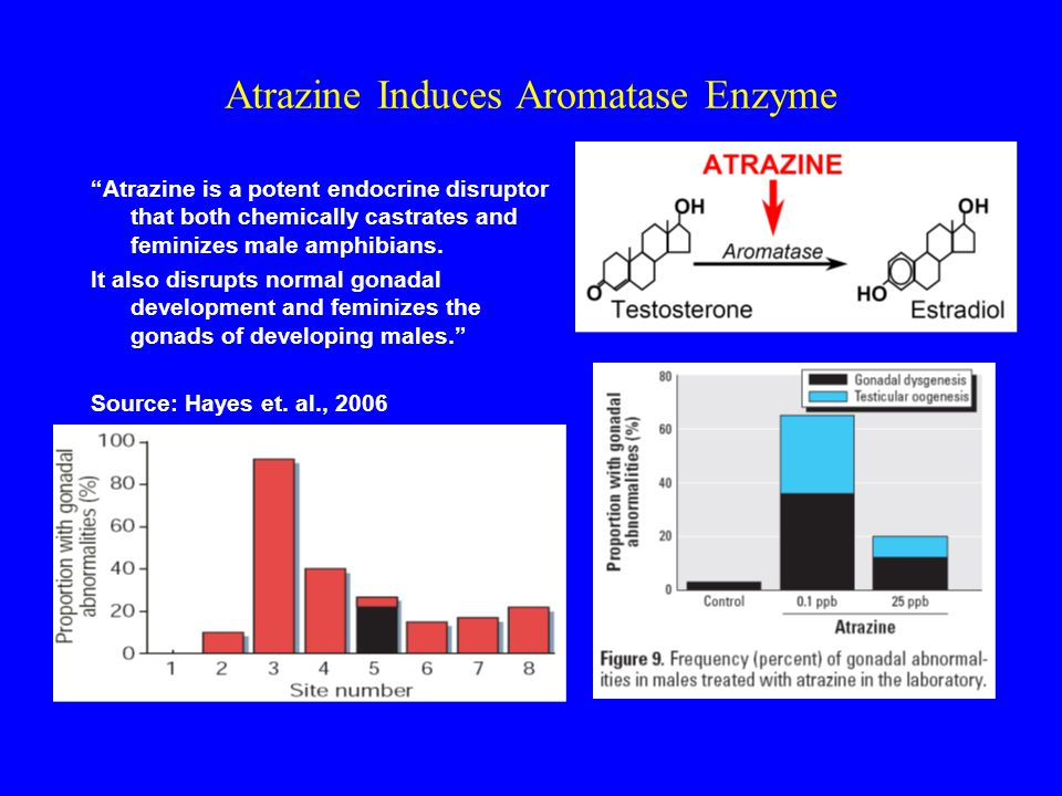 Atrazine Induces Aromatase Enzyme Atrazine is a potent endocrine disruptor that both chemically castrates and feminizes male amphibians.