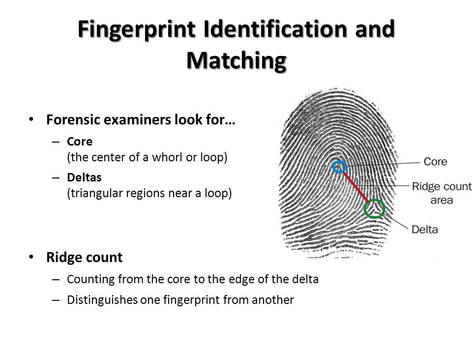 Fingerprint Identification and Matching Forensic examiners look for… – Core (the center of a whorl or loop) – Deltas (triangular regions near a loop) Ridge count – Counting from the core to the edge of the delta – Distinguishes one fingerprint from another