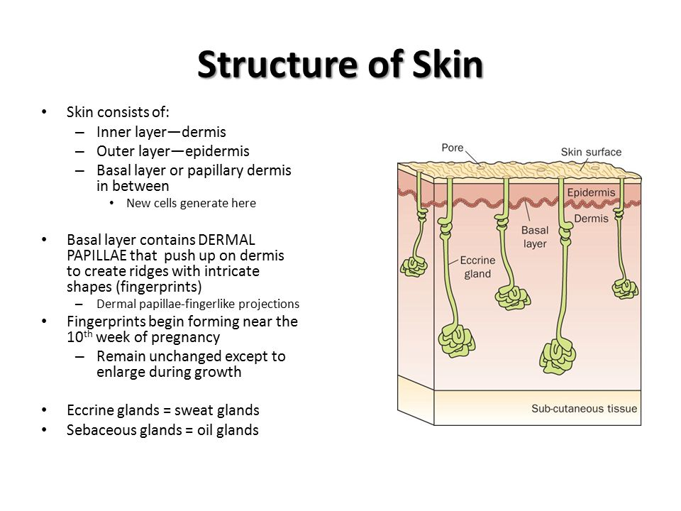 Structure of Skin Skin consists of: – Inner layer—dermis – Outer layer—epidermis – Basal layer or papillary dermis in between New cells generate here Basal layer contains DERMAL PAPILLAE that push up on dermis to create ridges with intricate shapes (fingerprints) – Dermal papillae-fingerlike projections Fingerprints begin forming near the 10 th week of pregnancy – Remain unchanged except to enlarge during growth Eccrine glands = sweat glands Sebaceous glands = oil glands