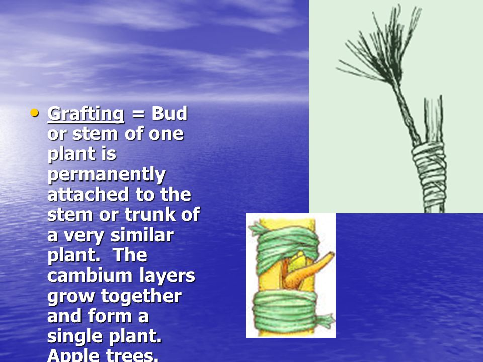Grafting = Bud or stem of one plant is permanently attached to the stem or trunk of a very similar plant.