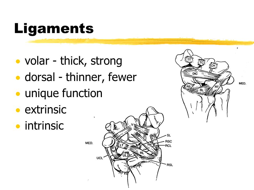 Ligaments  volar - thick, strong  dorsal - thinner, fewer  unique function  extrinsic  intrinsic