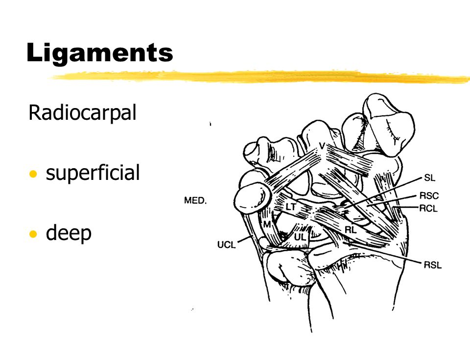 Ligaments Radiocarpal  superficial  deep