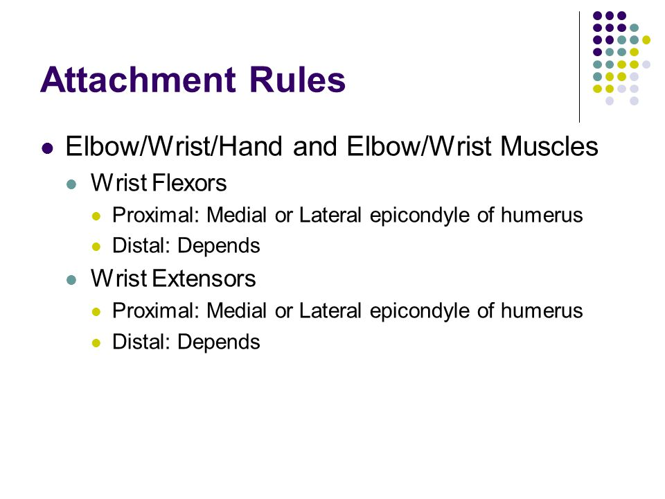 Attachment Rules Elbow/Wrist/Hand and Elbow/Wrist Muscles Wrist Flexors Proximal: Medial or Lateral epicondyle of humerus Distal: Depends Wrist Extens