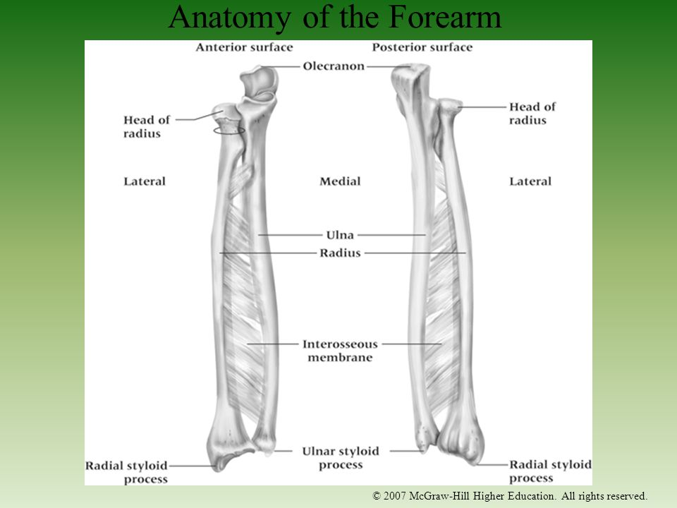 © 2007 McGraw-Hill Higher Education. All rights reserved. Anatomy of the Forearm