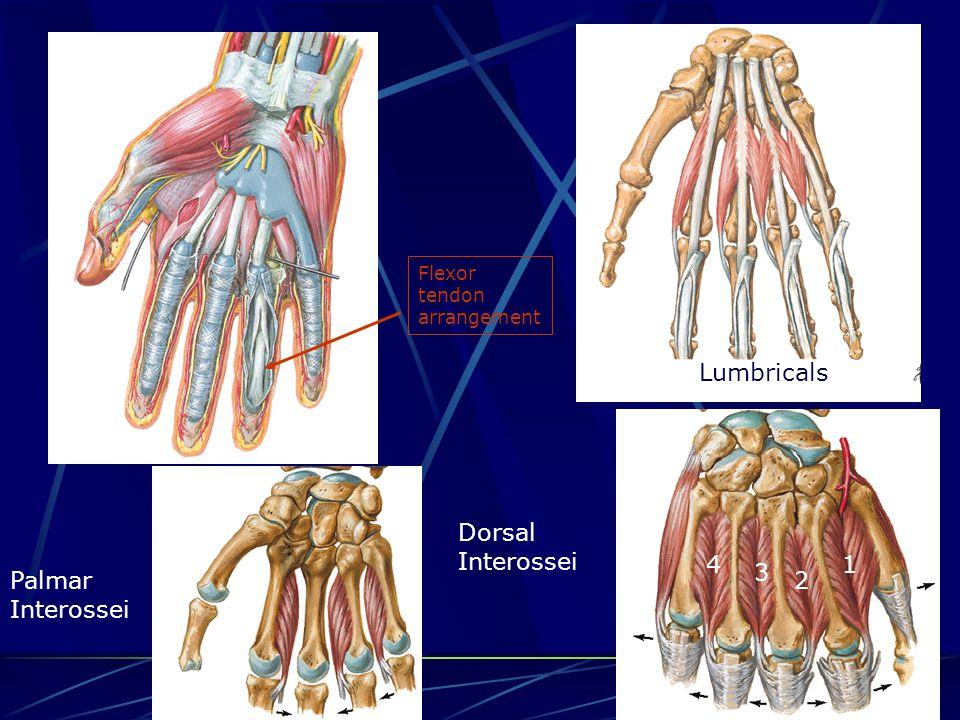 Lumbricals 1 2 3 4 Palmar Interossei Dorsal Interossei Flexor tendon arrangement