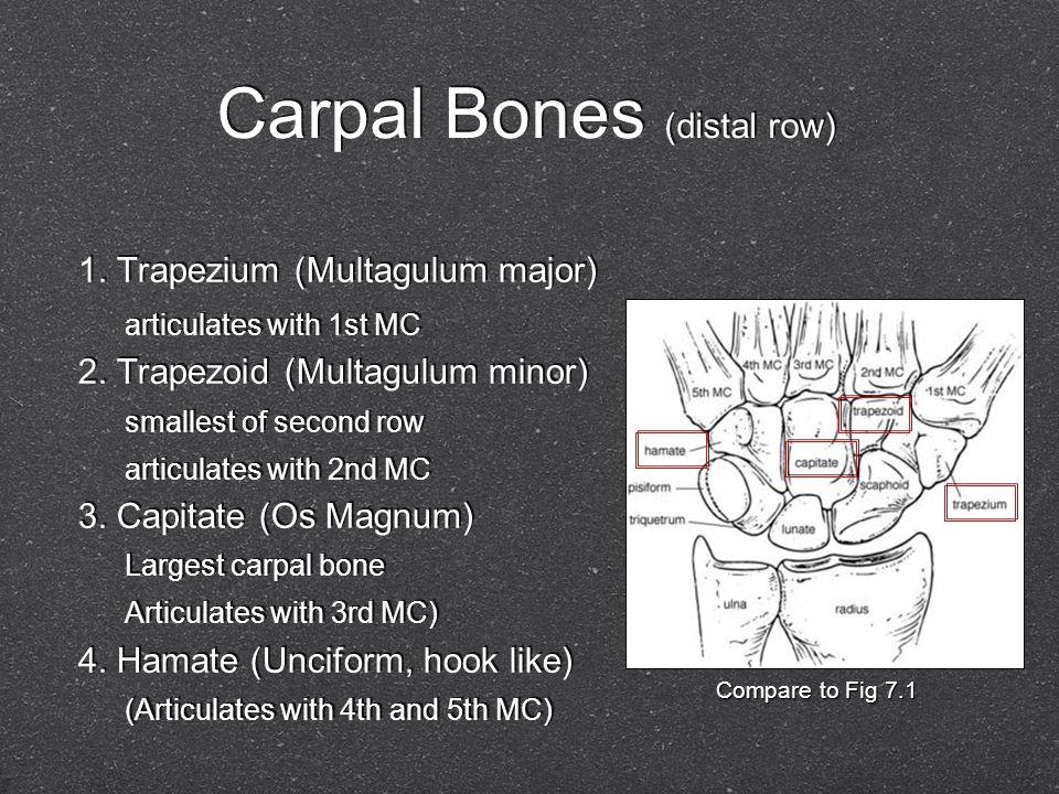Carpal Bones (distal row) 1. Trapezium (Multagulum major) articulates with 1st MC 2. Trapezoid (Multagulum minor) smallest of second row articulates w